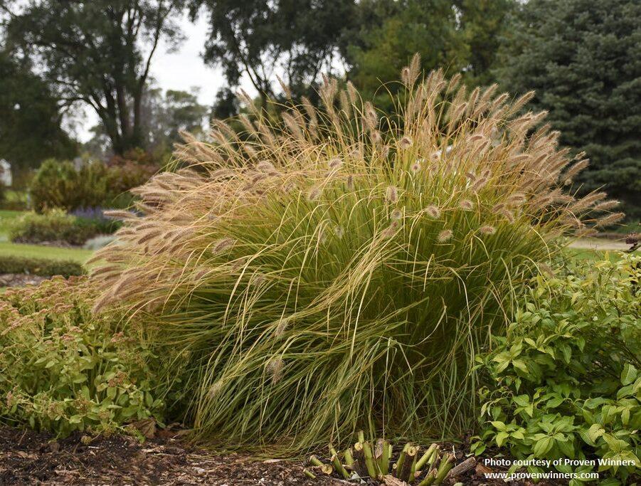 Pennisetum alopecuroides -Desert Plains- PW