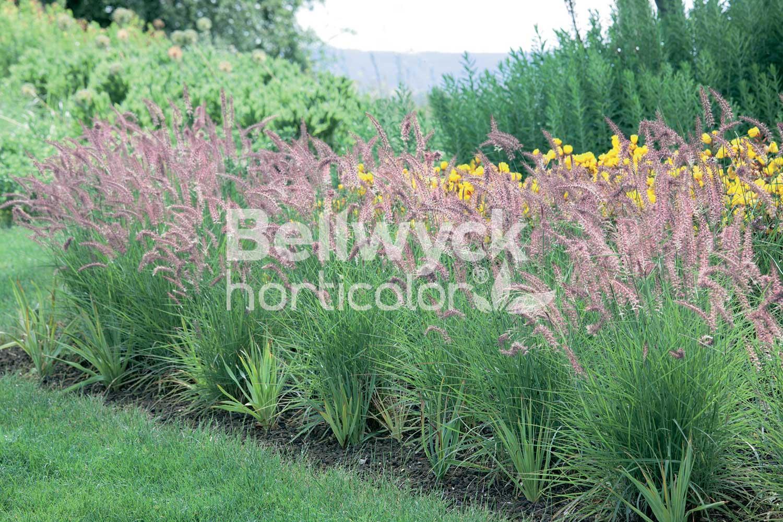 Pennisetum orientale -Karley Rose-
