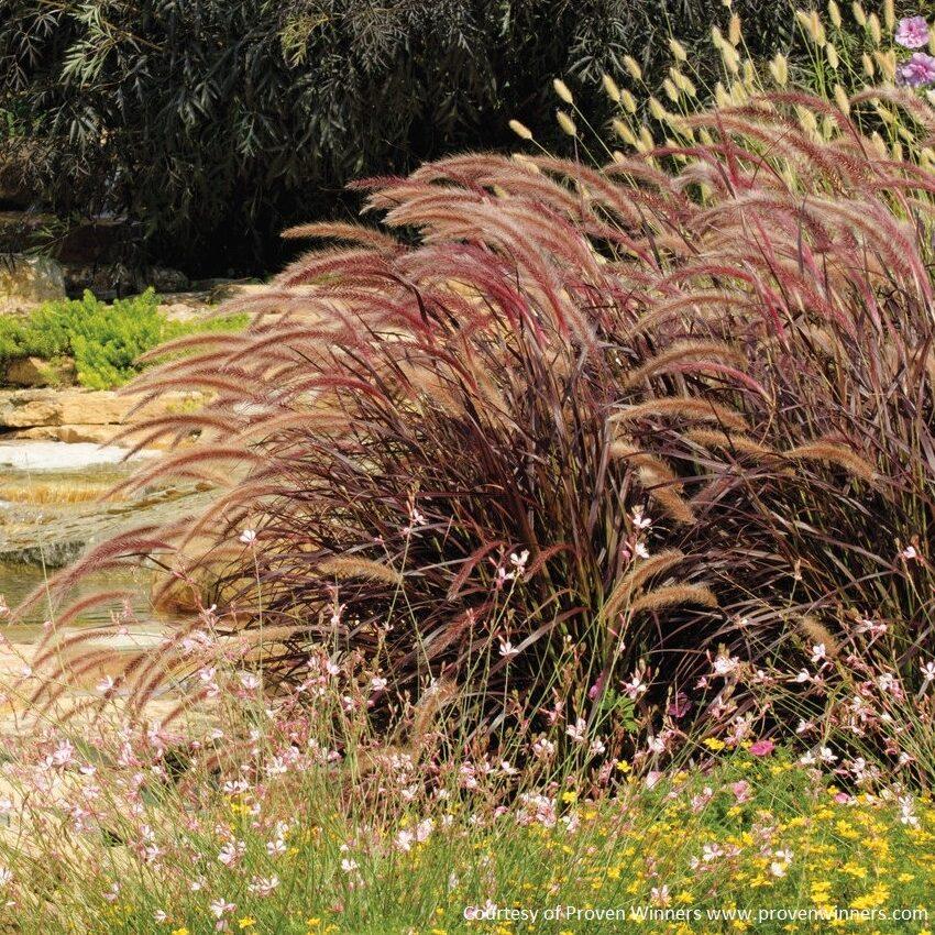 Pennisetum setaceum -Rubrum-