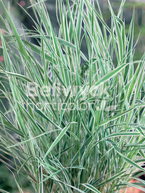 Phalaris arundinacea -Picta-