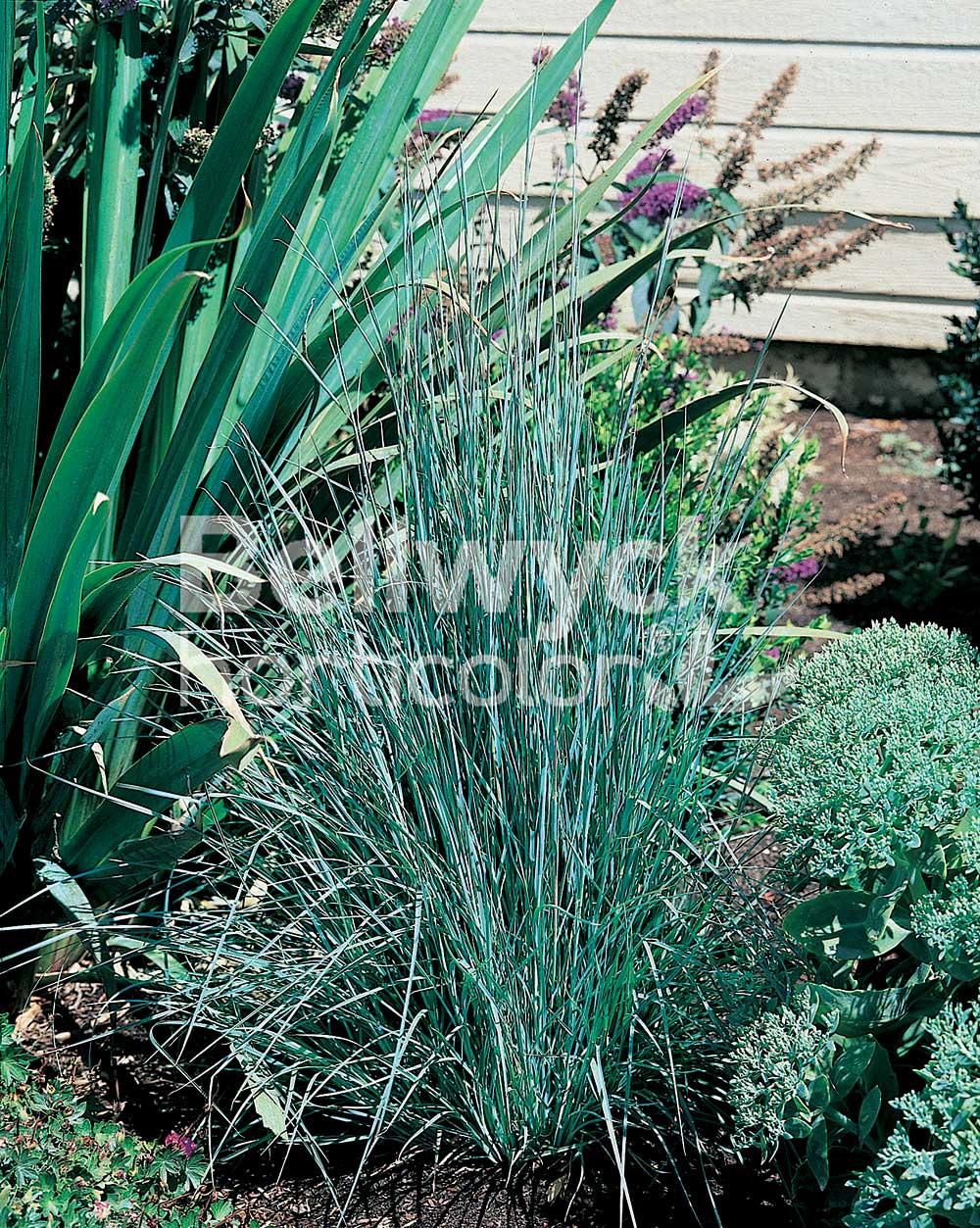 Schizachyrium scoparium -The Blues-