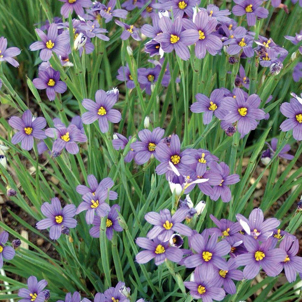 Sisyrinchium angustifolium -Lucerne-